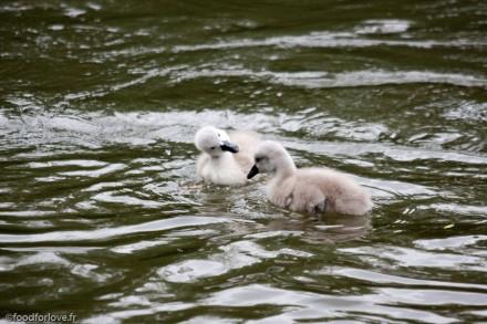 cute babies swan