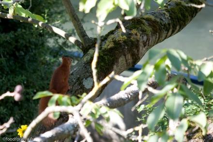cluster on the walnut tree
